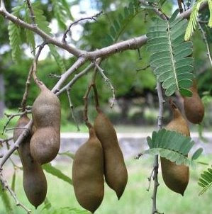 Tamarijn crop