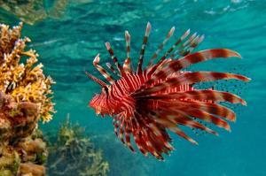 animals-fish-lionfish-underwater-485x728