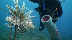 lionfish_caught