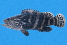 Epinephelus Itajara.