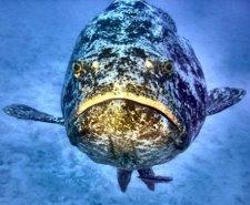 Jewfish.