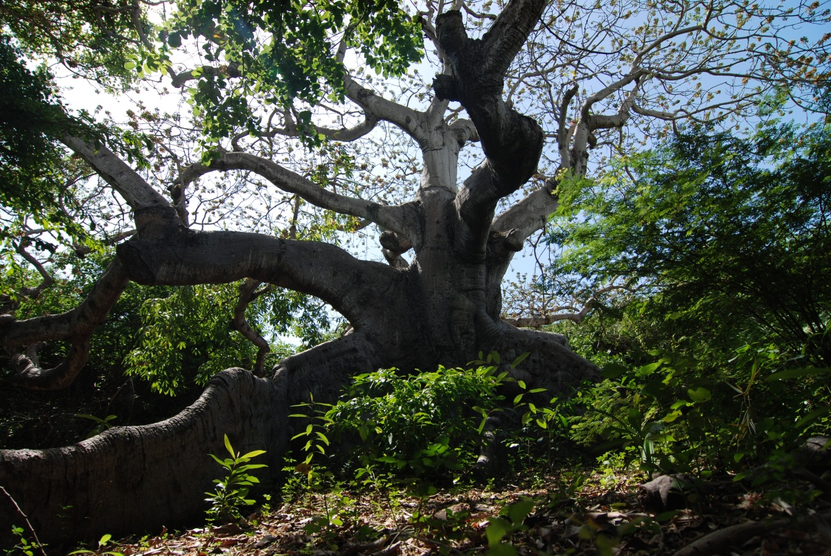719 Cura 231 Ao S Oldest Tree 1000 Awesome Things About Cura 231 Ao