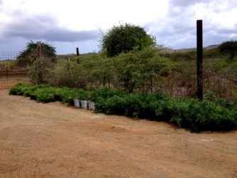 "300+ ""Indigo"" ready for planting at Soto..."