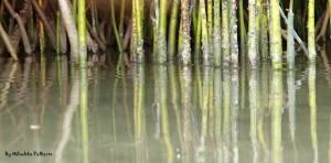 Mangroves. Photo by Milushka Volkerts.